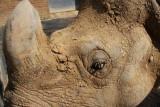 Panzernashorn / Asian Rhino