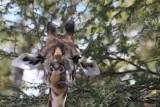Thornicroft's Giraffe