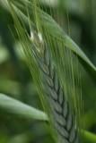 Rauhweizen / rivet wheat