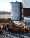 Cows and Silo