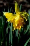 Farmer's Daffodil
