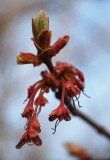Maple Buds and Flowers