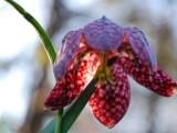 Snakeflower