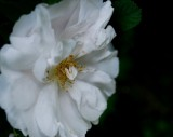 Musk Rose Profile