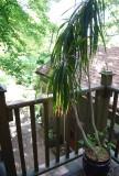 Giant Plant On The Balcony