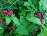 Wild Raspberries In The Hedgerow