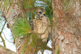 Baby Hawk  11 sm.jpg