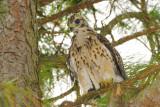 Baby Hawk  36 sm.jpg