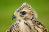 Baby Hawk  86 sm.jpg