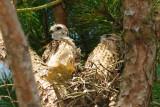 Baby Hawk  54 sm.jpg