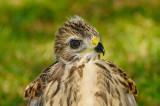 Baby Hawk  90 sm.jpg