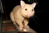 golden Common Brushtail Possum