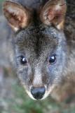 Tasmanian Pademelon