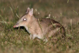 Eastern Barred Bandicoot