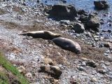 Elephant Seals near San Simeon