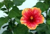 Hawaii Rose