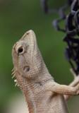 Thai Lizard