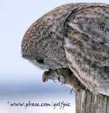 Great Gray Owl with prey