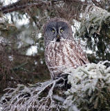 Great Gray Owl perched on ice-covered branches