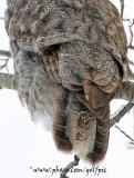 Aging a Great Gray Owl