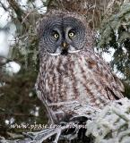 Great Gray Owl peers out from its wintry perch