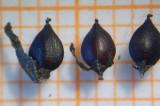 Zadenatlas / Seed Atlas