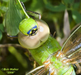 Up Close And In The Face Of A Common Green Darner