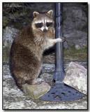 Raccoon Anticipating Mischief