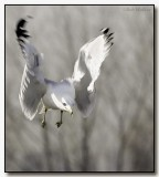 Ring Billed Gull In Flight And Up Close