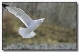 Ring Billed Gull In Close Approach