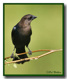 A Brown-headed Cowbird (Molothrus ater)
