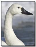 Tundra Swan's Portrait