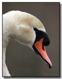 A Mute Swan's Side Profile