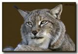Canadian Lynx (Felis lynx)