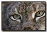 Canadian Lynx Really Close Up