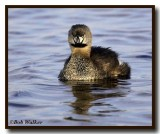 Pied-billed Grebe With An Attitude