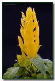 Justicia brandegeana var. lutea Shrimp Plant