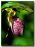 A Lady Slipper Portrait