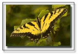 The Eastern Tiger Swallowtail Gallery