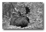 A Large Bull Moose In The Bush