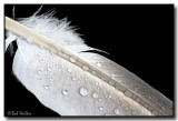 Dampened Feather