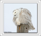 Again The Snowy Owl Puffs Out It's Feathers & Down To Keep Warm. An Often Seen Ritual.