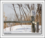 The Snowy Owl Using A Fence Post As It's Vantage Point For Hunting