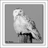 Snowy Owl In Black And White