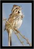 A Song Sparrow Singing A Sure Sign Of Spring