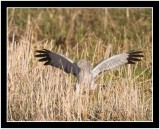 An Adult Harrier Seen In The Field As It Pounced On It's Victim In Pursuit Of It's Meal
