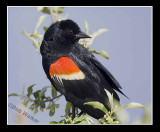 Red-winged Black Birds (Agelaius phoeniceus) Gallery
