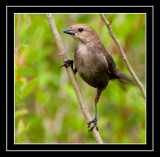 Female Brown-headed Cowbird (Molothrus ater)