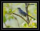 A Gray Catbird (Dumetella carolinensis)