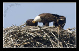 Just One Of The Rituals After Giving Birth To The Eaglets